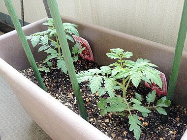 tomato2014-01.jpg